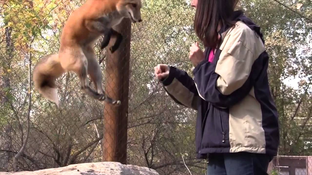 Loki, the jumping-talking fox
