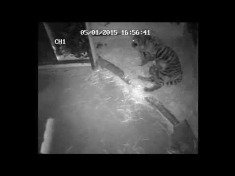 Rare footage of baby tigers