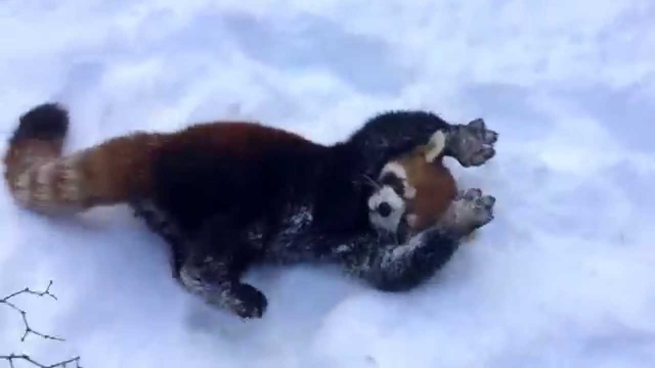 Red Pandas are having fun in the snow