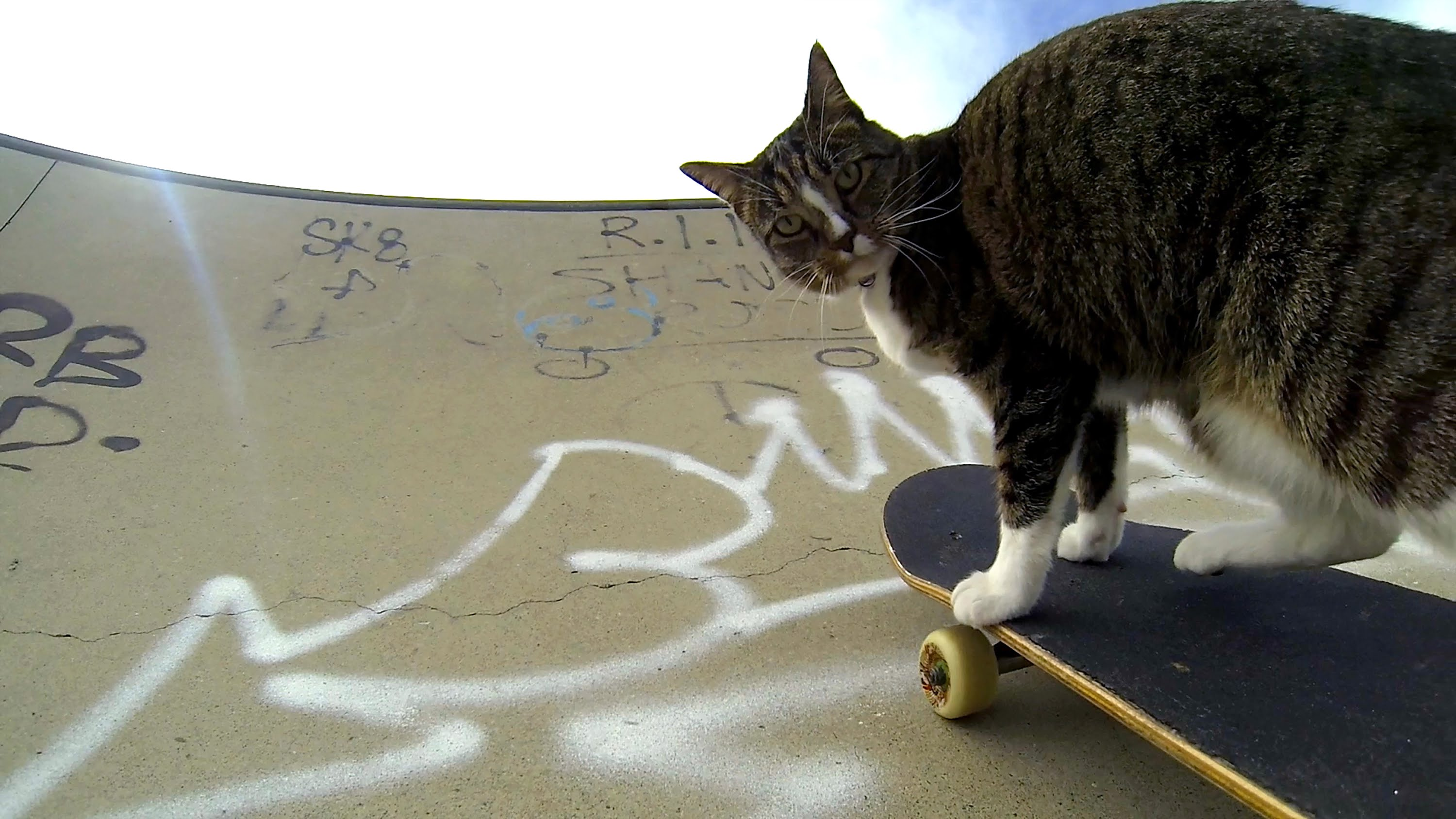 Didga, the skater cat!