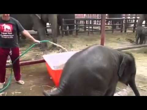 This baby elephant started to drink way early!!!