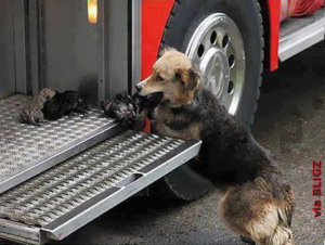 Adorable dogmommy risk her life serveral times to save her little puppies from a fire. Truly admirable and heroic.